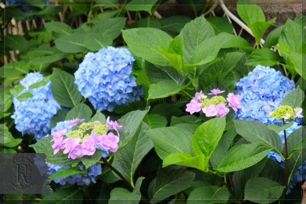 庭の花 アジサイ 20130619