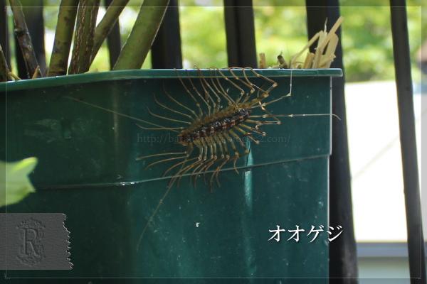 オオゲジ ゲジゲジ 益虫 20130521