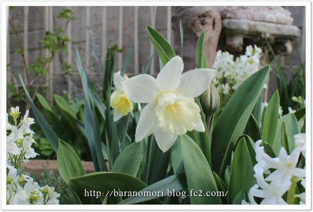 庭の花 ホワイトガーデン マウントフット 20130410