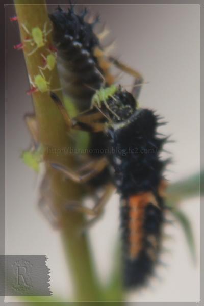 益虫 テントウムシ 20130519