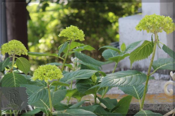 庭の花 あじさい 20130524