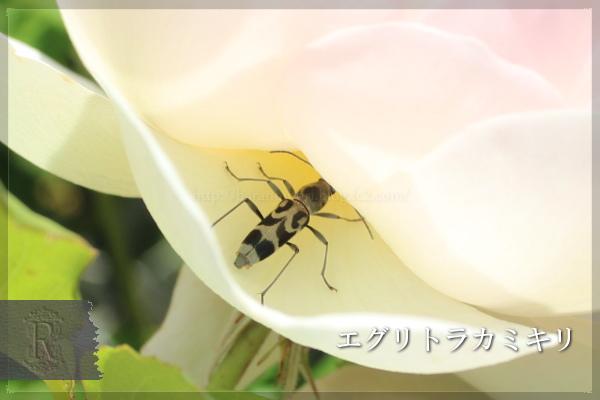 エグリトラカミキリ 虫 20130521