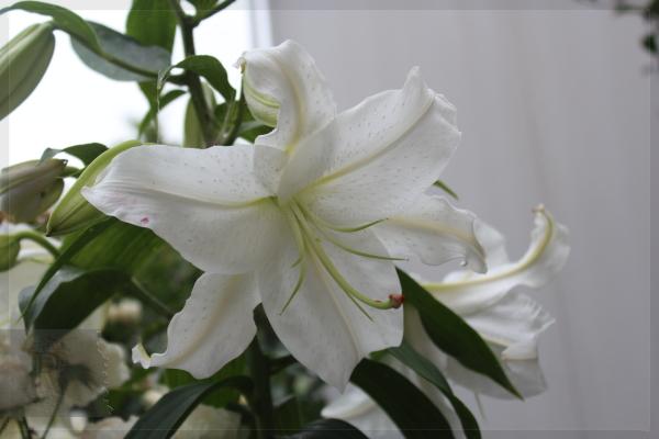 カサブランカ 庭の花 20130717