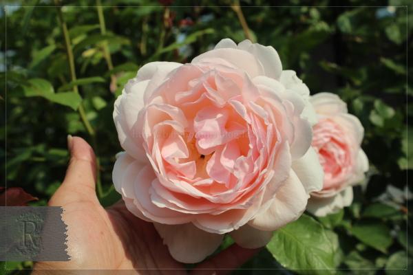 謎のバラ 20130521