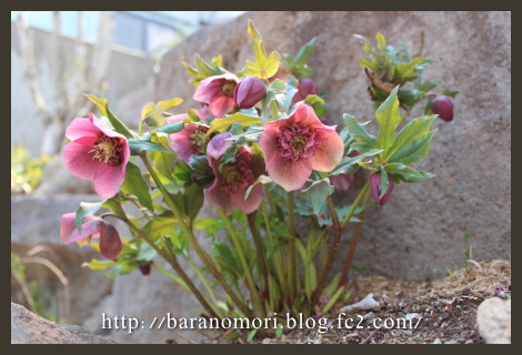 庭の花 20130404 クリスマスローズ