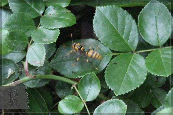 キアシナガバチ