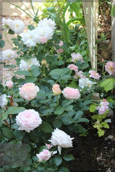 庭の花 枕木 土留花壇 20130524