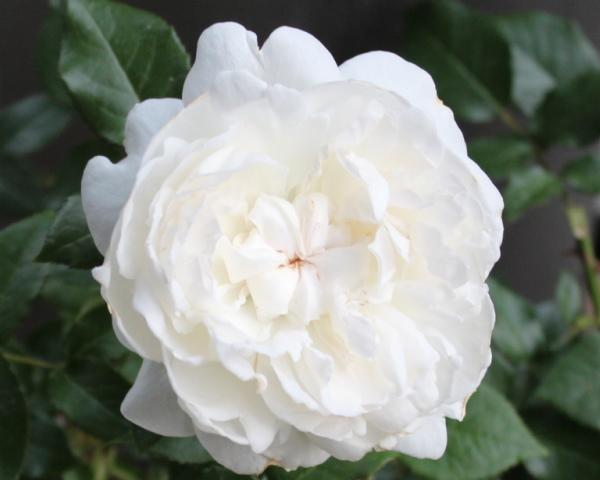 ボレロ 20120601