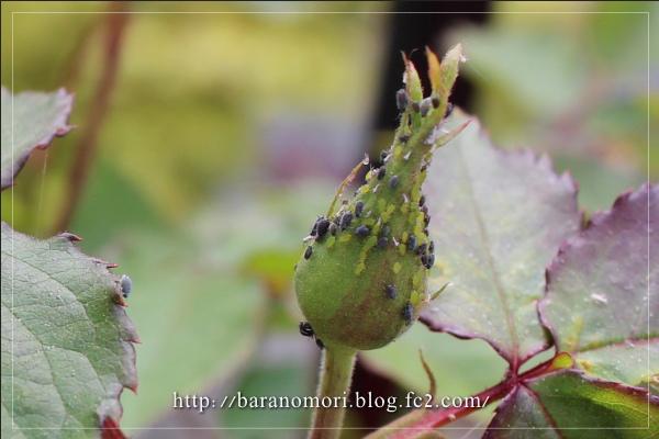 害虫 アブラムシ