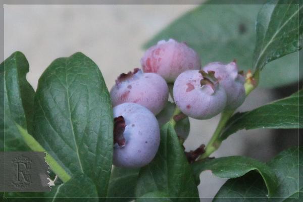 ブルーベリー 庭の花 20130628