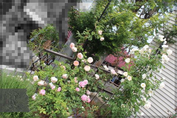 庭の花 駐車場花壇 20130525