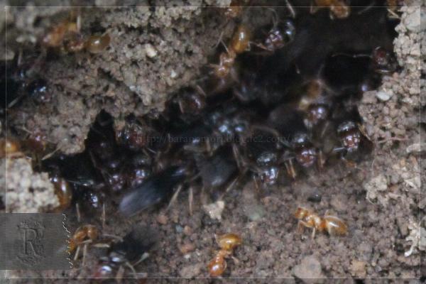 アリ 昆虫 20130628