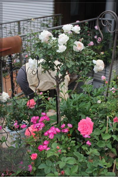庭の花 ボレロ スタンダード 20130519
