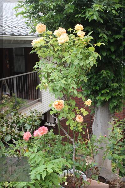 庭の花 20130519