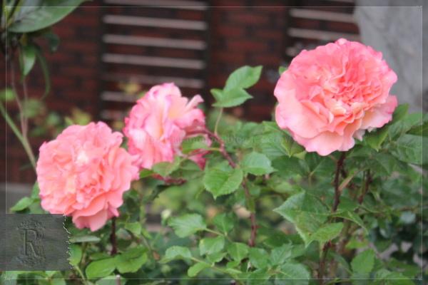 庭の花 20130519 ラチエル