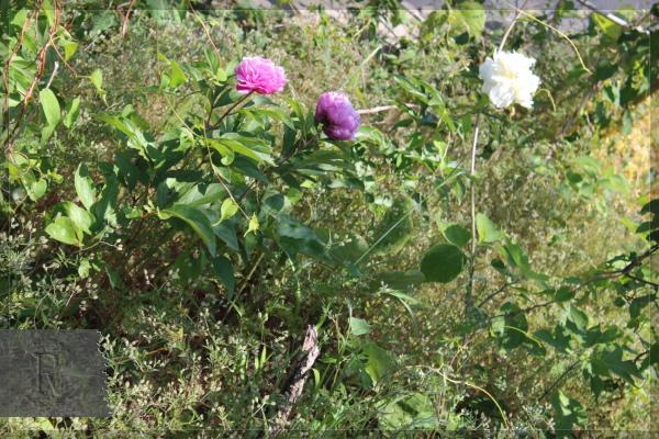 野の花 芍薬