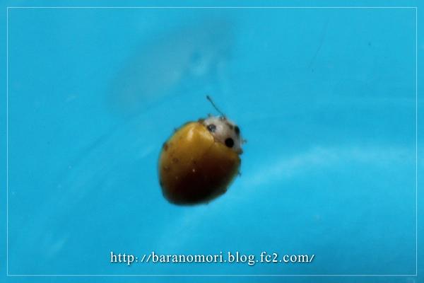 キイロテントウ テントウムシ 益虫