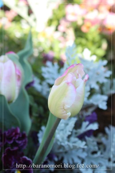 庭の花 謎のチューリップ 20130422