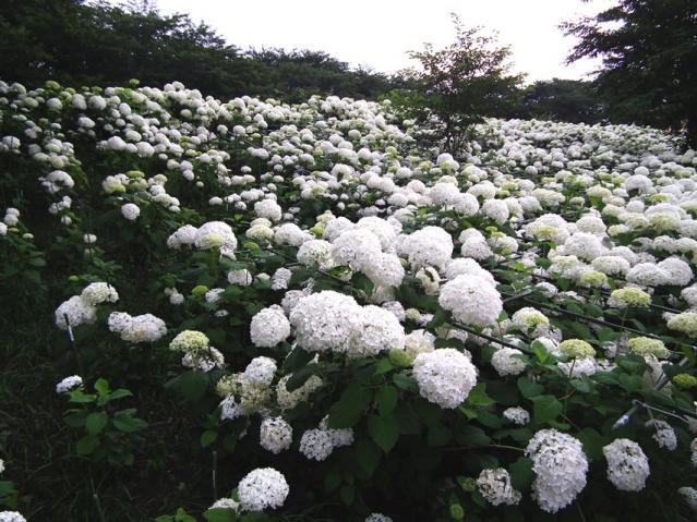 権現堂公園の紫陽花(2)
