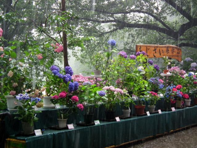 権現堂公園の紫陽花(4)
