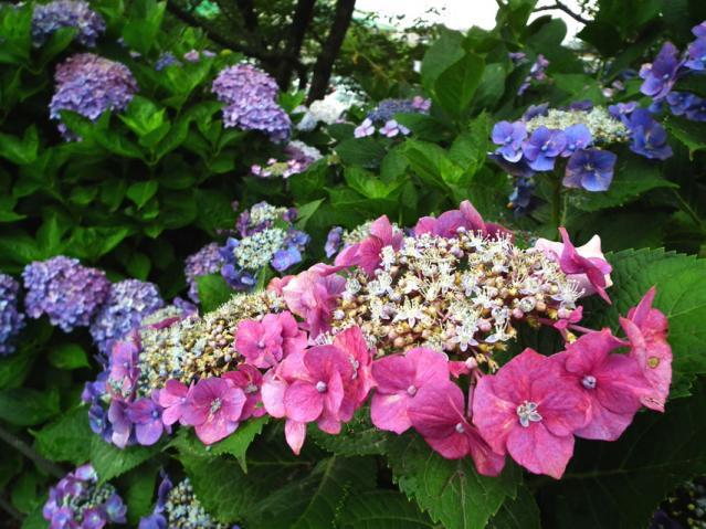 権現堂公園の紫陽花(5)