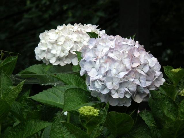 権現堂公園の紫陽花(6)