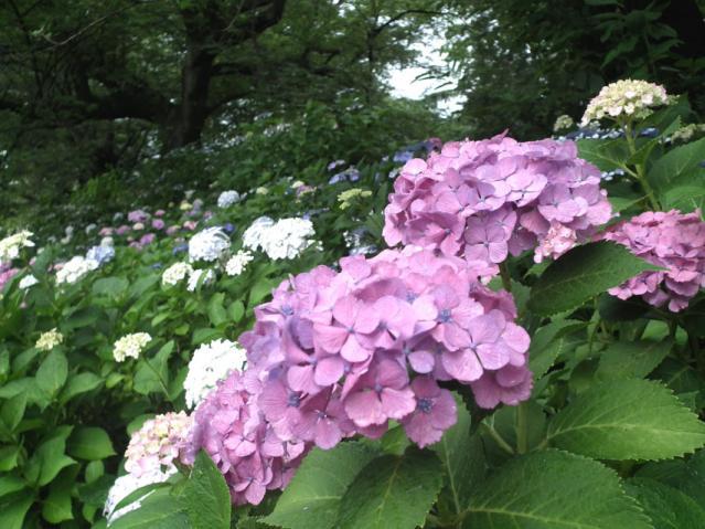 権現堂公園の紫陽花(7)