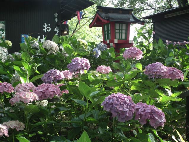 権現堂公園の紫陽花(8)