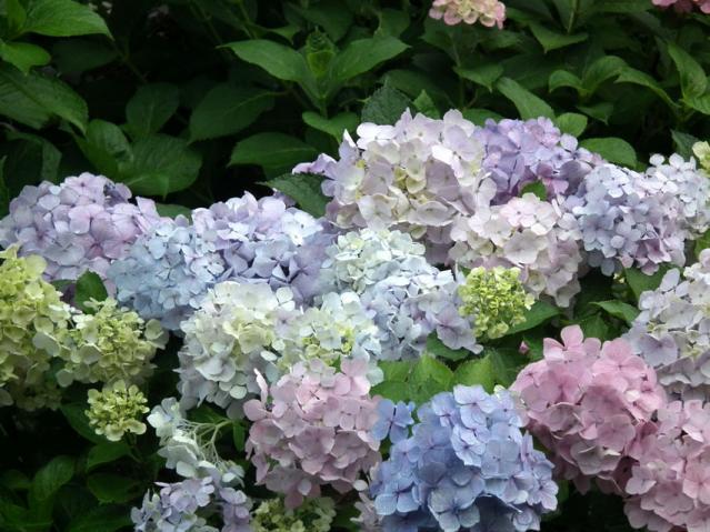 権現堂公園の紫陽花(9)