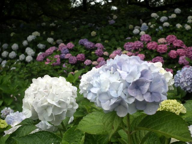 権現堂公園の紫陽花(10)