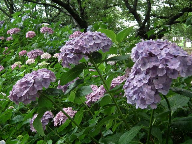 権現堂公園の紫陽花(11)