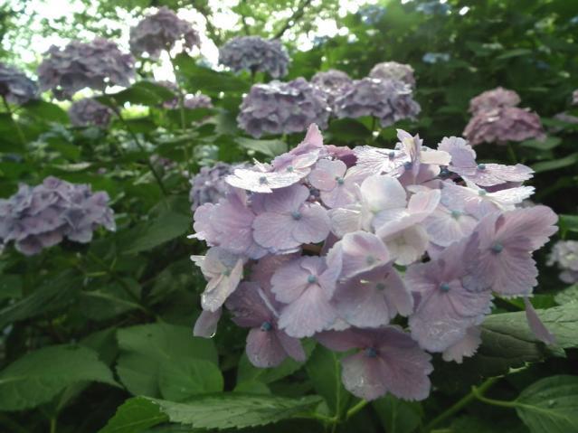 権現堂公園の紫陽花(12)