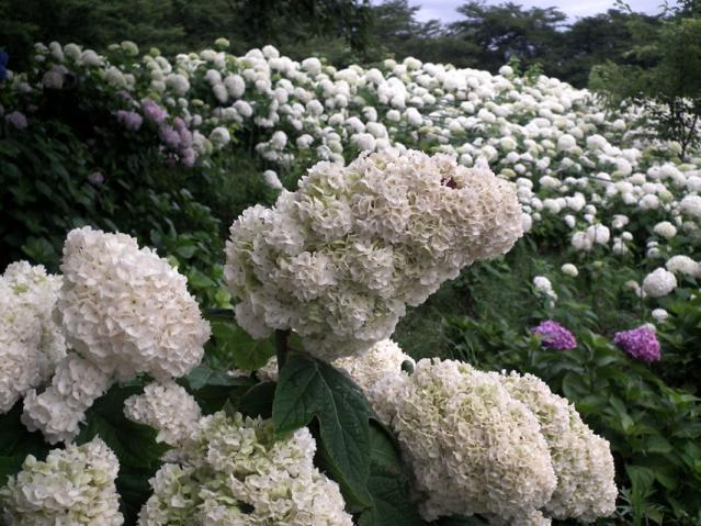 権現堂公園の紫陽花(13)