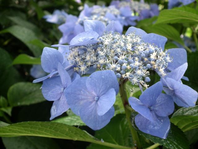 権現堂公園の紫陽花(14)