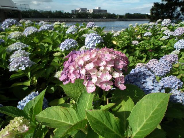 八景島の紫陽花2013(5)