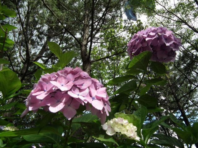 八景島の紫陽花2013(6)
