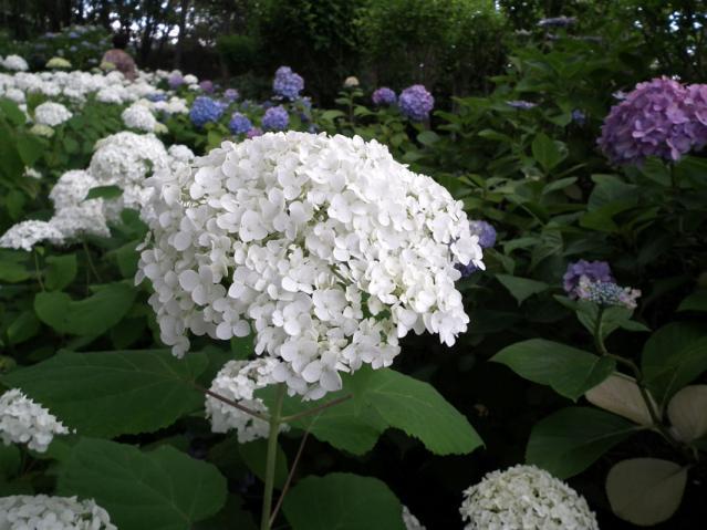 八景島の紫陽花2013(9)