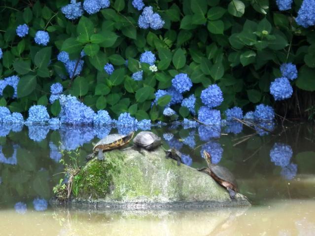 横須賀菖蒲園の菖蒲(1)