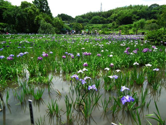 横須賀菖蒲園の菖蒲(2)