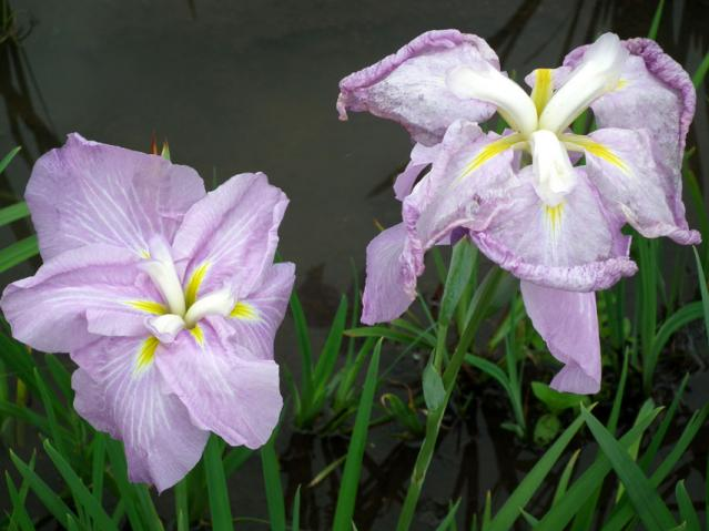 横須賀菖蒲園の菖蒲(7)