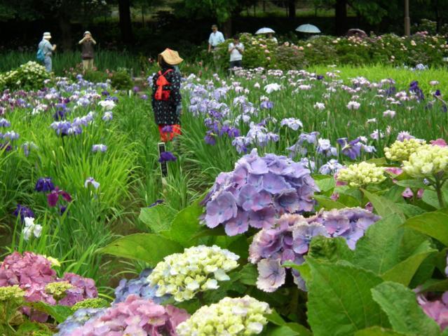 横須賀菖蒲園の菖蒲(9)