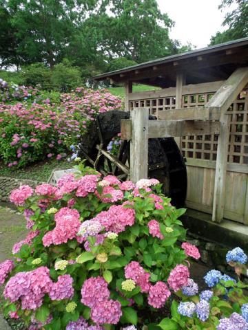 横須賀菖蒲園の紫陽花(1)