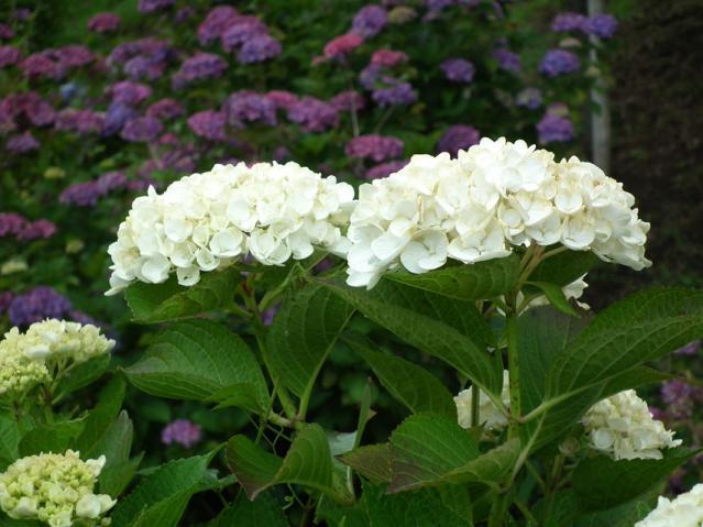 横須賀菖蒲園の紫陽花(2)