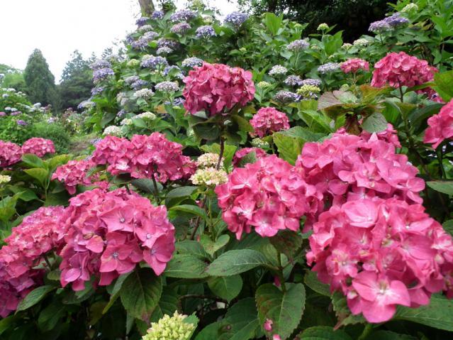 横須賀菖蒲園の紫陽花(3)
