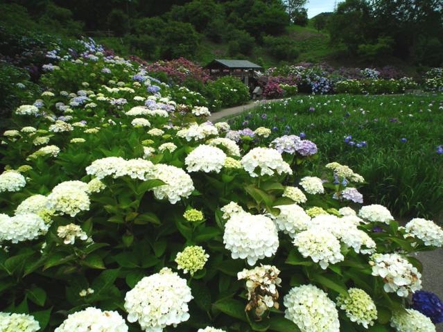 横須賀菖蒲園の紫陽花(4)