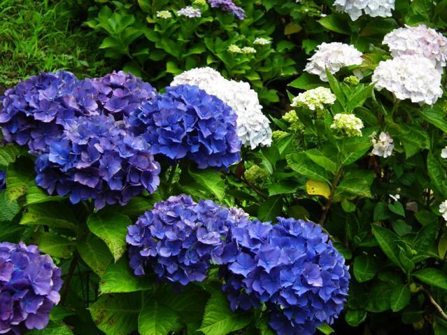 横須賀菖蒲園の紫陽花(5)