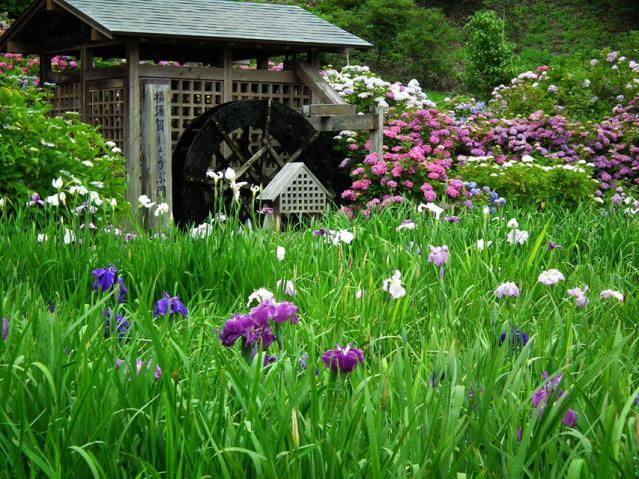 横須賀菖蒲園の紫陽花(6)