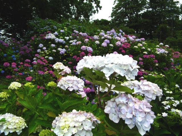 横須賀菖蒲園の紫陽花(7)