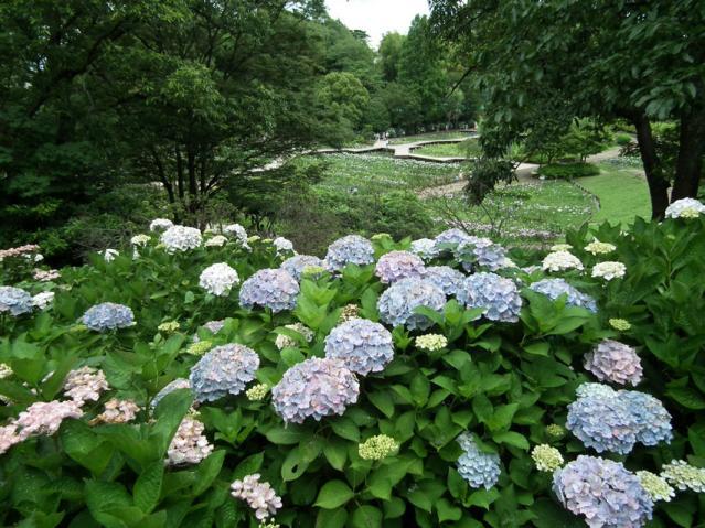 横須賀菖蒲園の紫陽花(8)