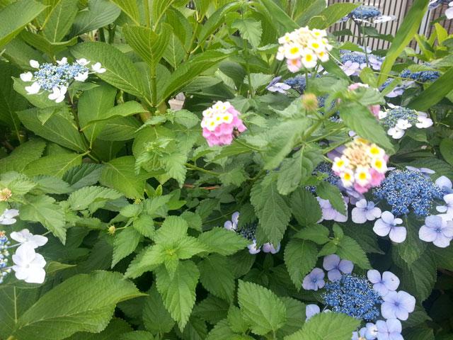 近所で咲いていた紫陽花(1)